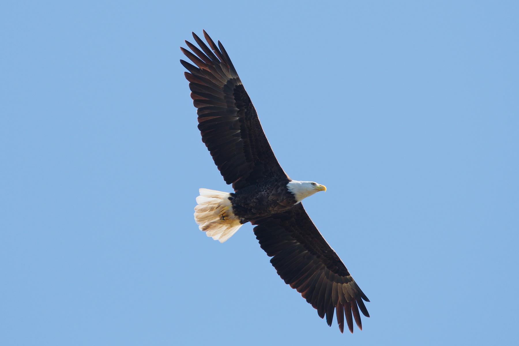 Bald Eagle; Nikon D500 + AF-S 600; still handheld... uff....