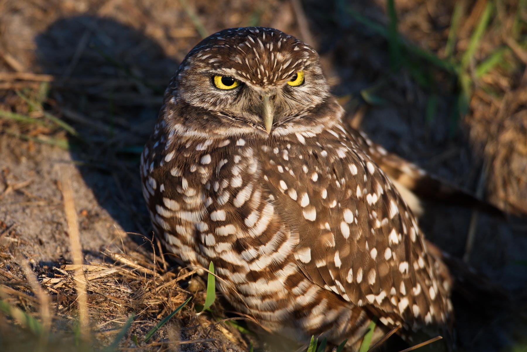 Burrowing Owl; Nikon D500 + AF-S 600