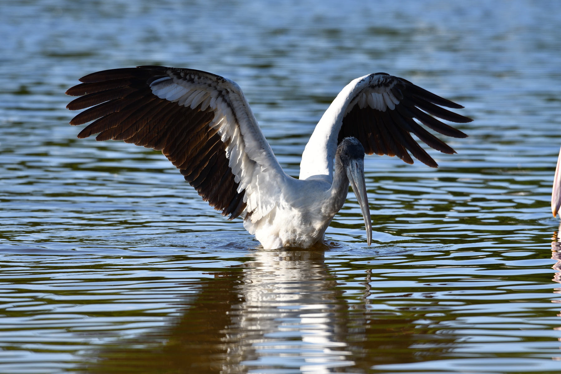 Sanibel Island; Wood Stork(s); Nikon D500 + AF-S 600mm