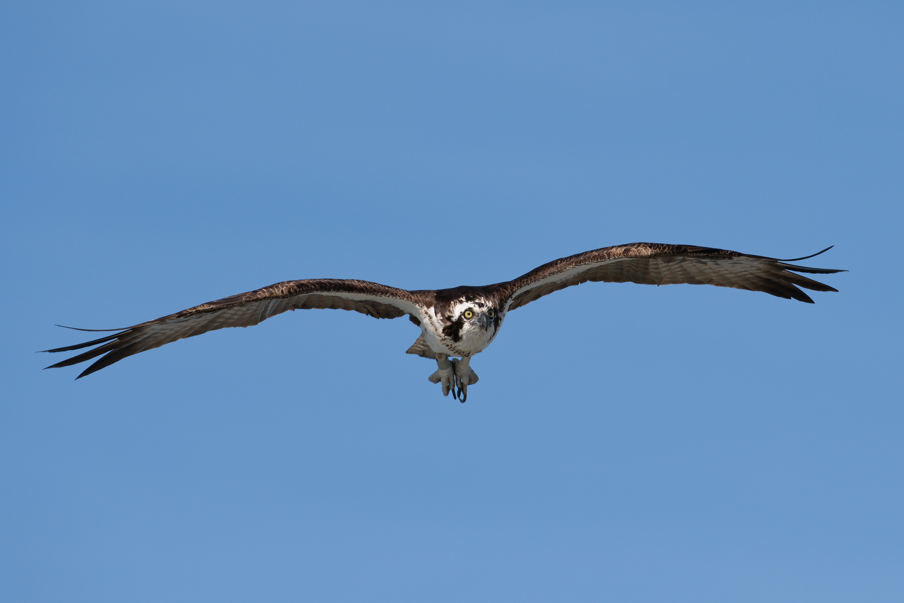 Osprey; Ft. Myers Beach Fishing Pier; Nikon D500 + AF-S 200-400 @ 350mm