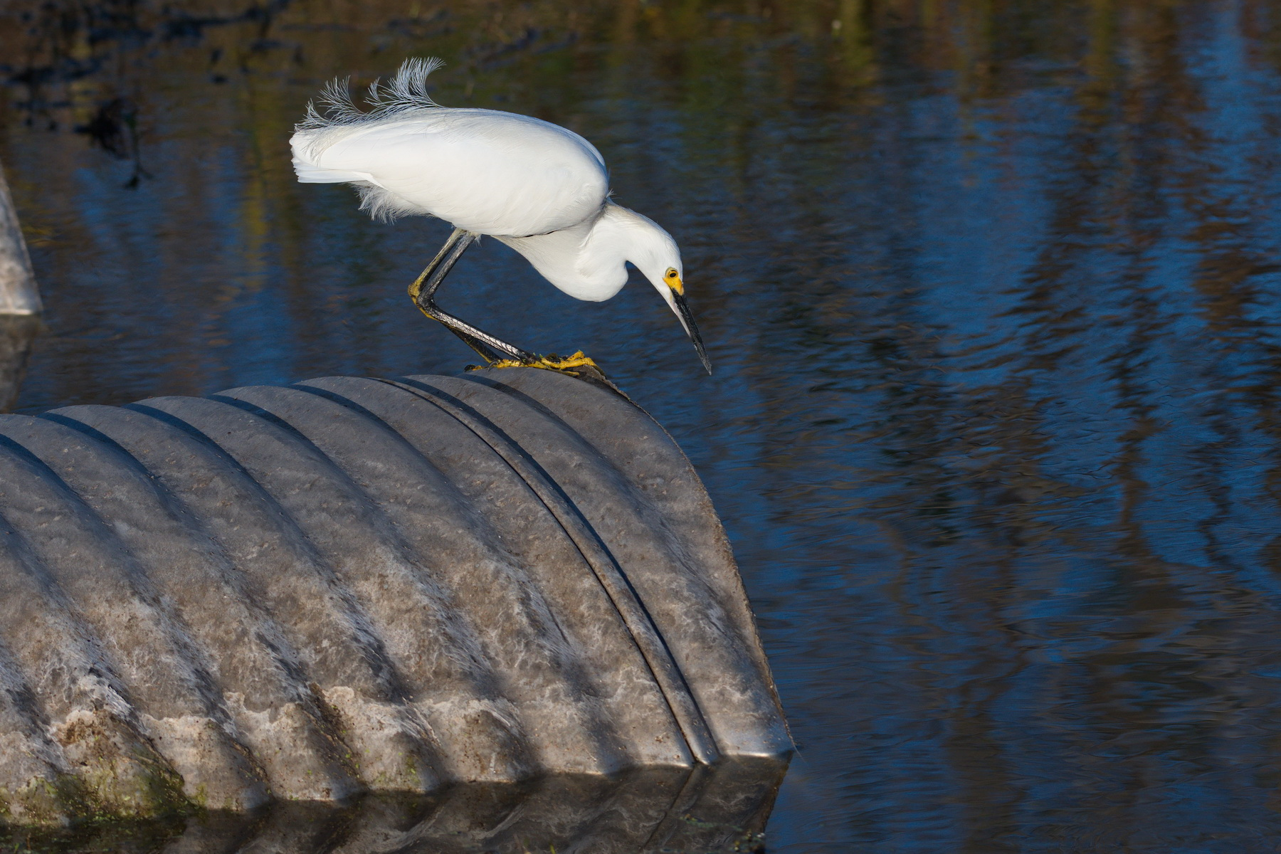 Circle B Bar Reserve / Snowy Egret