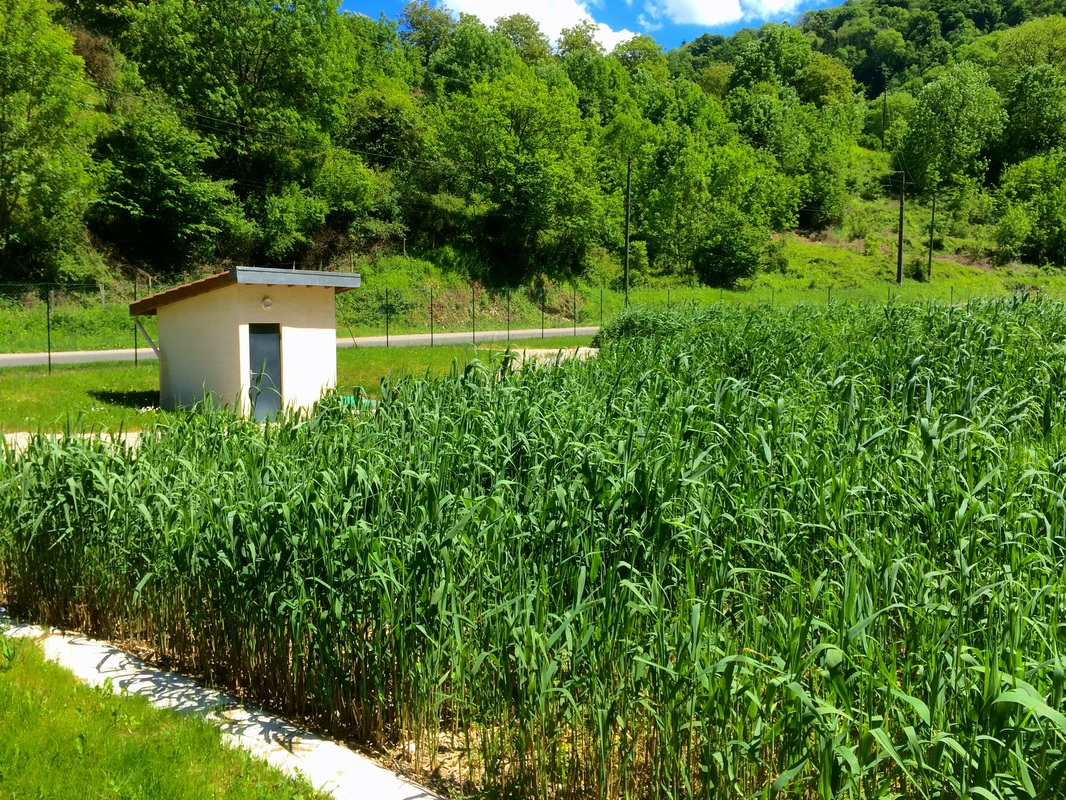 Station d'épuration naturelle à roseaux de St Jérôme