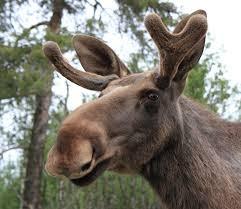 Wat een vriendelijke Moose