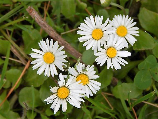 Gänseblümchen, Daisy, daisies