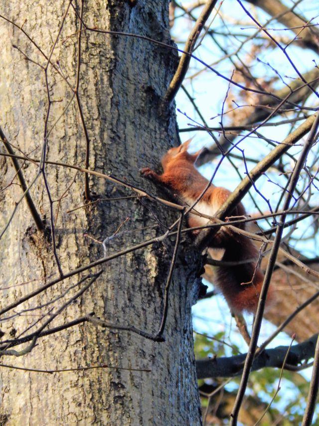Eichhörnchen im Schlosspark (da ich mit dem Auslöser nicht annähernd so flink war wie dieser kleine rotbuschige Kerl, hat es für einen Blick in die Kamera nicht ganz gereicht - aber sieht man nicht schön die lustigen Pinselohren?)...