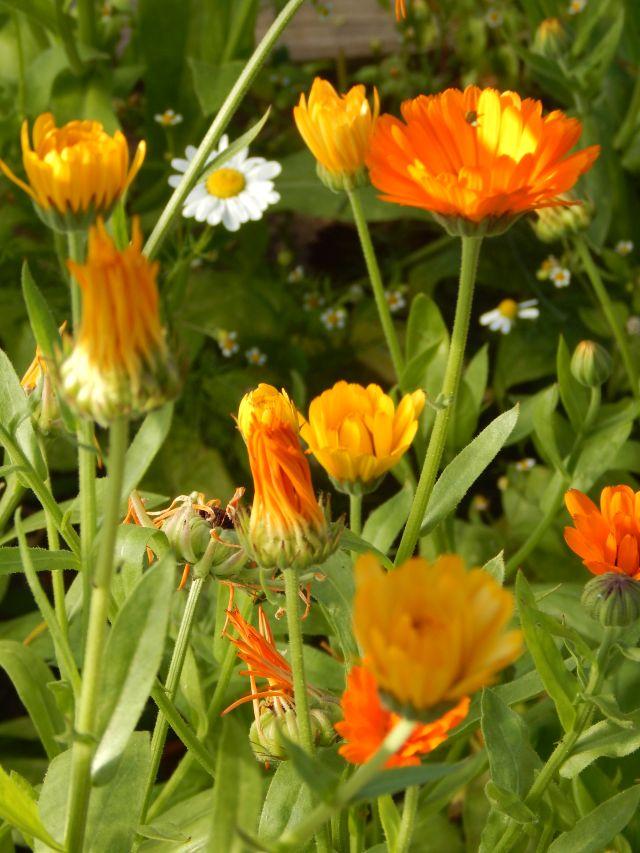 Ringelblumen und Kamille
