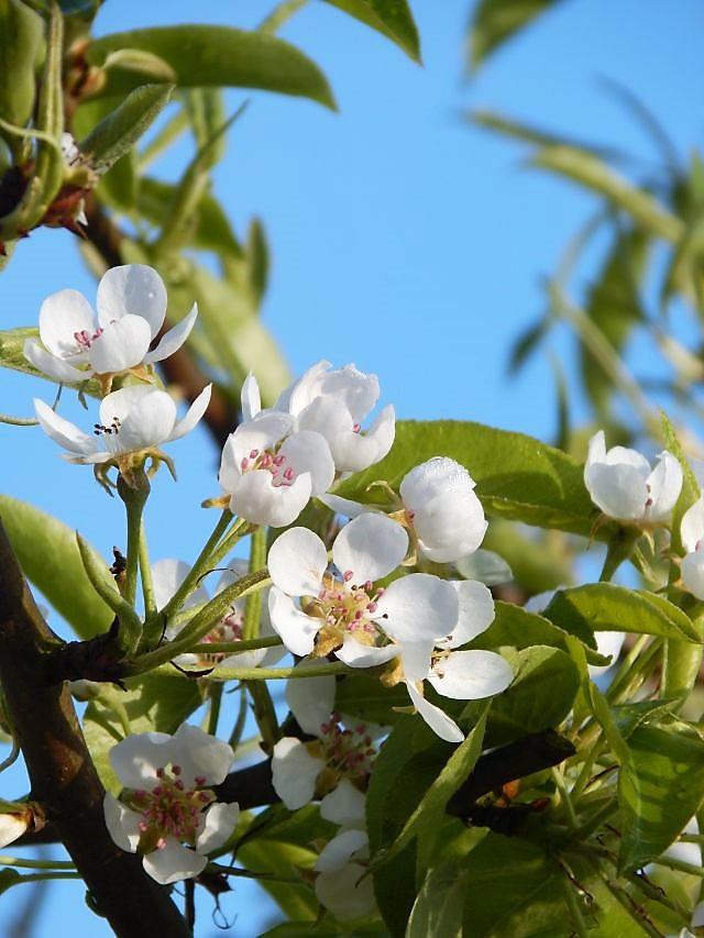 Birnbaumblüte
