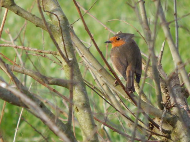 Rotkehlchen, Robin, Birds
