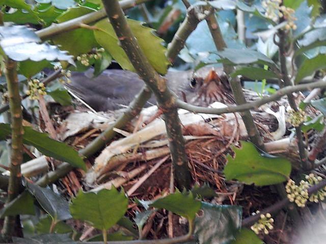 Amsel, Nest, Brüten, Amselmutter