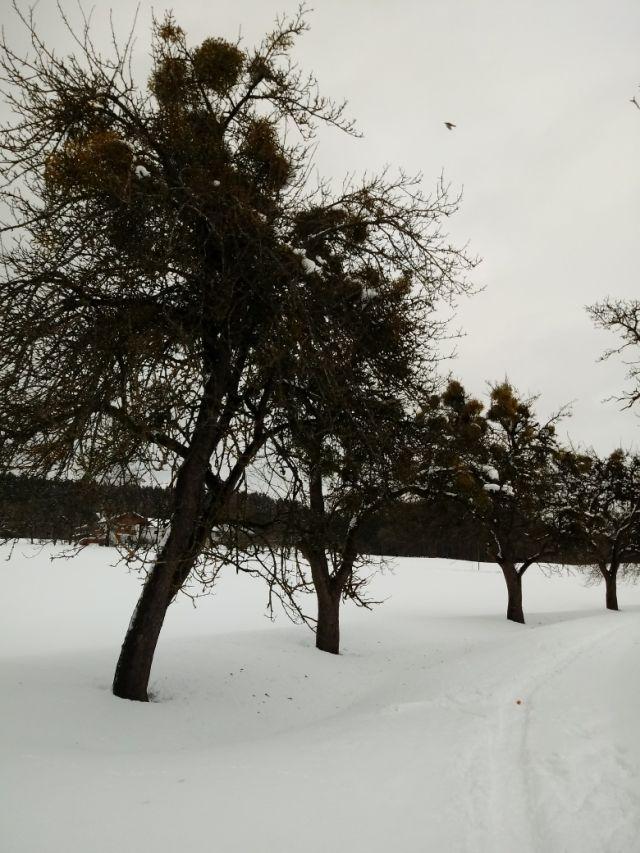 Apfelbäume mit Misteln in Oberbayern