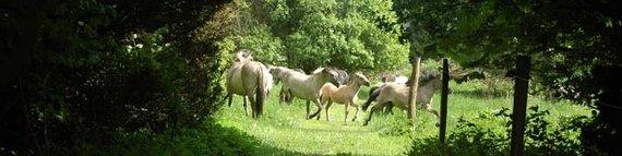 Konik-Herde im Hessepark. Foto: NABU-Woldenhof