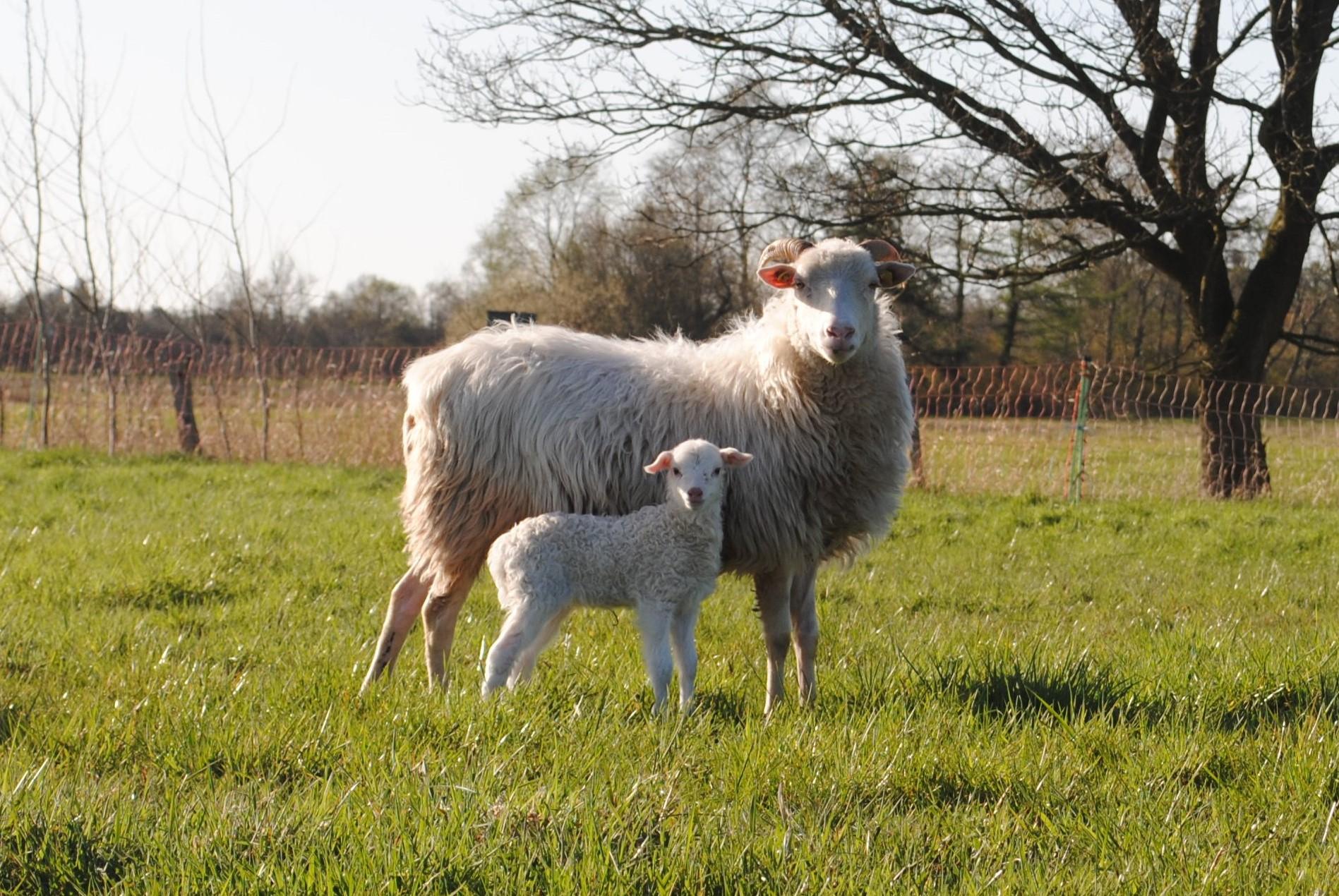 Weiße gehörnte Heidschnucke mit Lamm. Foto: Laura Holzenkämpfer