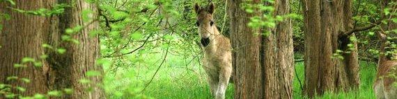 Konikfohlen unter Urwelt-Mammutbäumen. Foto: NABU-Woldenhof