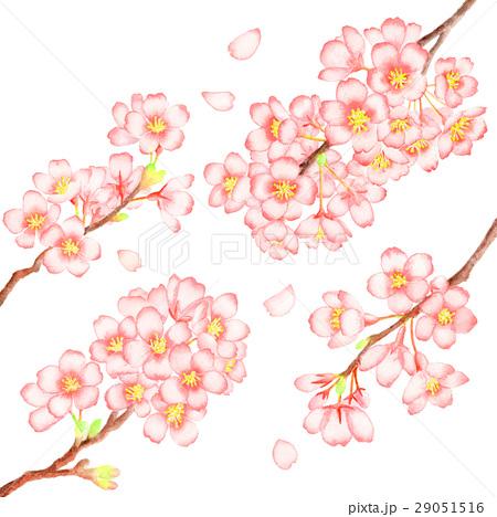 桜 イラスト 透明水彩