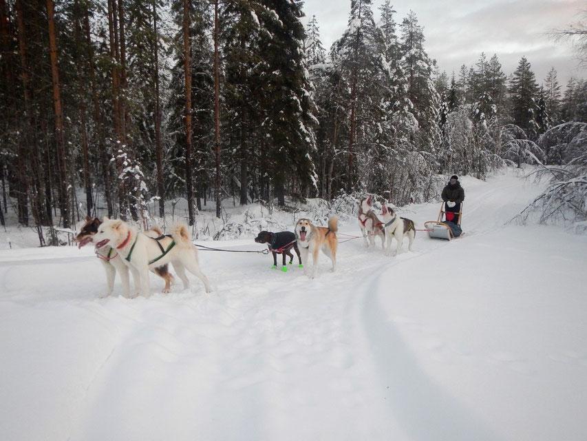 Schlittenhundetour in Schweden, Polarkreis