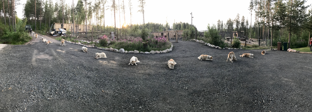 greenlanddogs at the Arctic Circle get their food