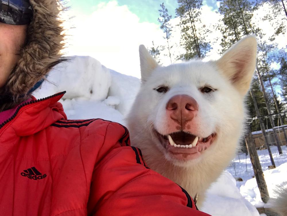Greenlandcdog puppy, 5 months