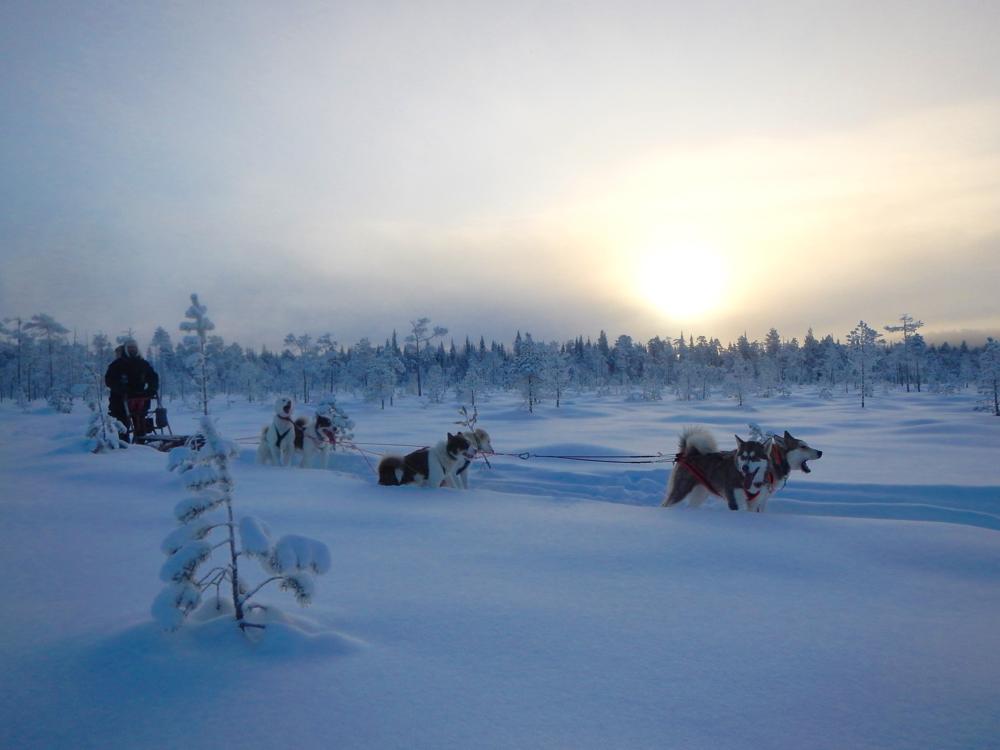 Schlittenhunde, Grönlandhunde, Lappland, Schweden