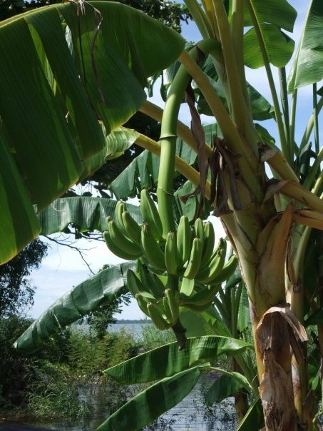 Bananas on the way to the Mombacho
