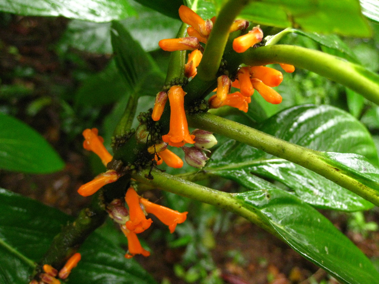 Flowers on Ometepe