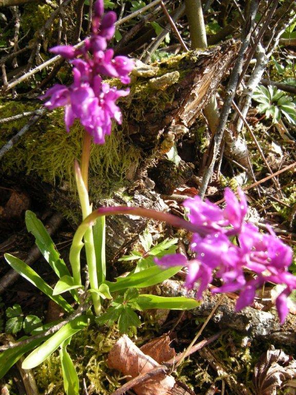 Orchidées de mai