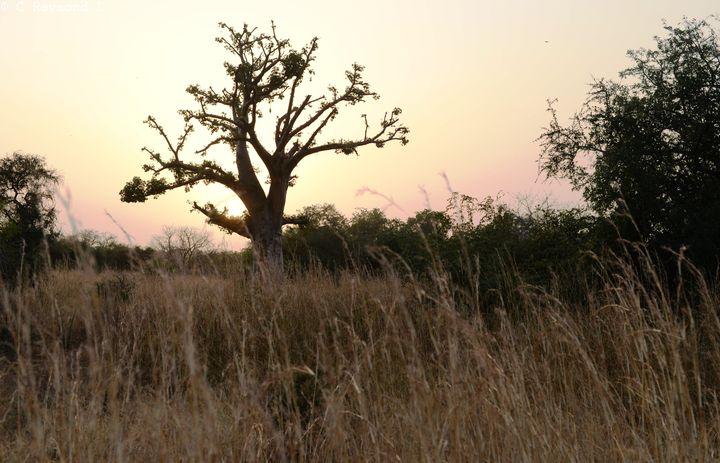 Savane arboré avec grandes herbes sèches arbustes et baobabs et lumière rouge orangé au couché du soleil