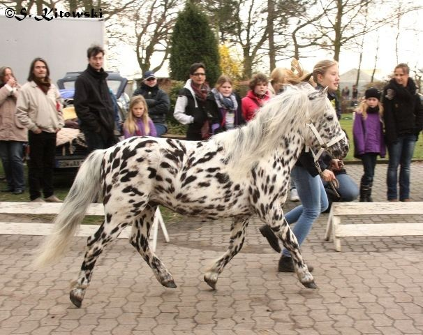 Wum von Marschhorst / Appaloosa-Pony