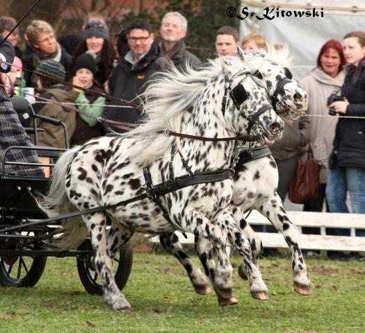 Wim und Wum von Marschhorst / Appaloosa-Ponys