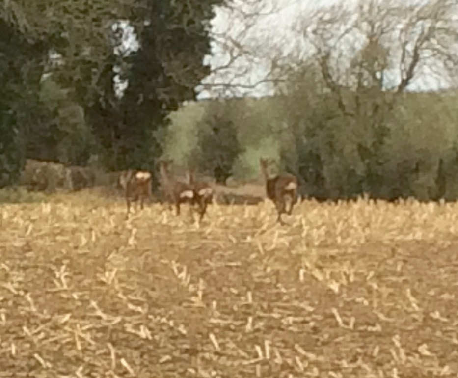 4 Roe deer skipping around the Maize stubble
