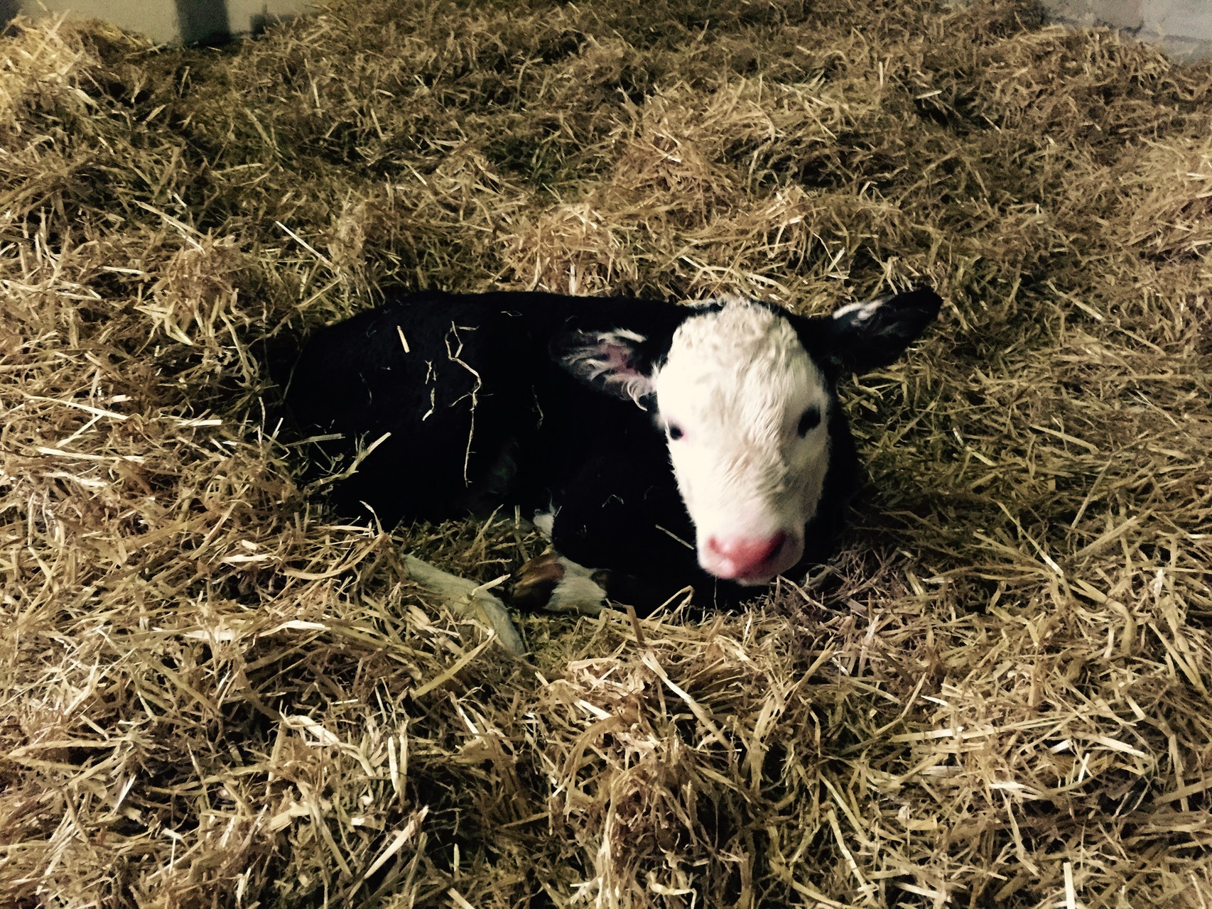 Ribbon, a very cuddly calf