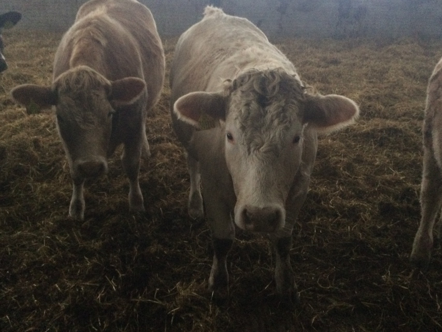 Two of the new girls after having Red Angus embryo implanted