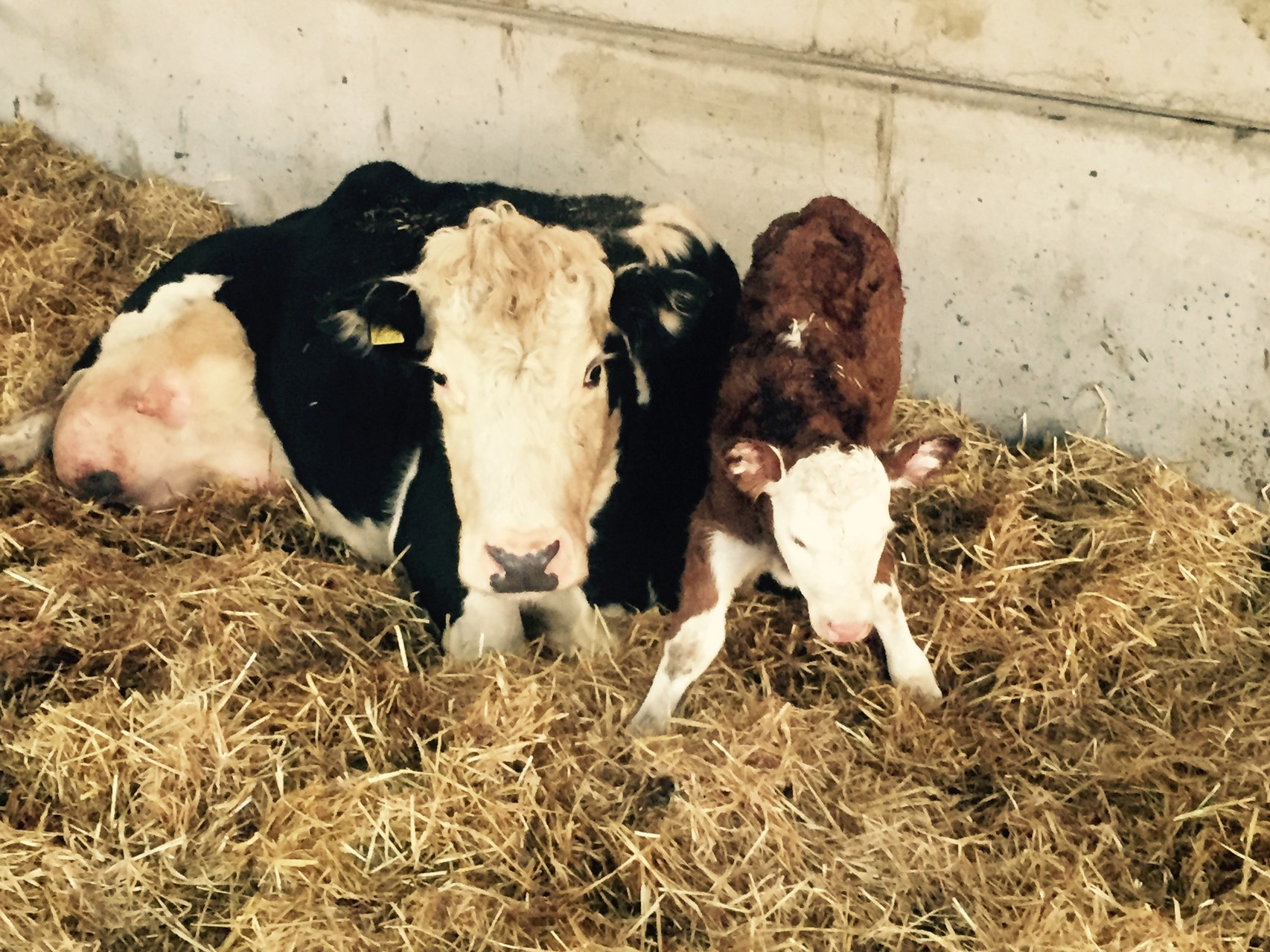 Proud mum Mrs Charles with her daughter Charlene, the first calf born in 2016