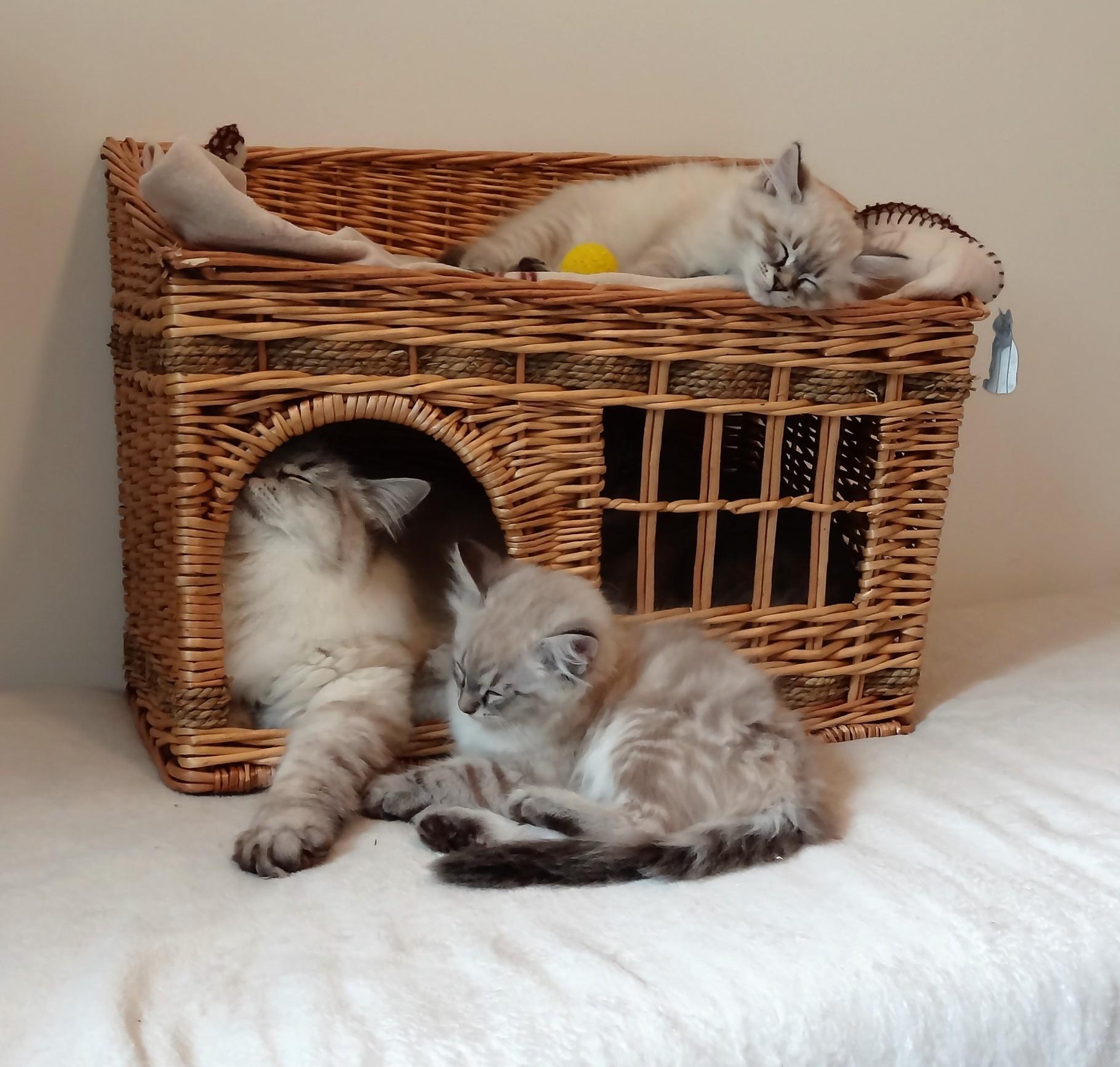 Nos chatons sibériens à vendre - Les sibériens de Magic