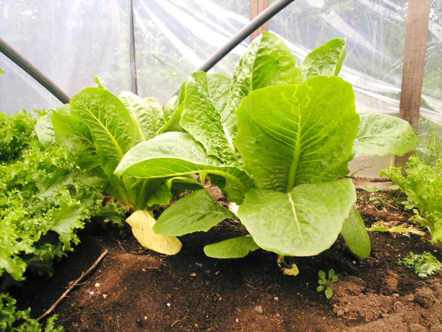 自家栽培の畑のロメインレタス