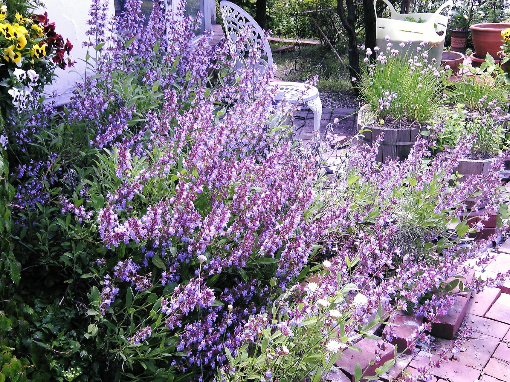 イタリアンハーブ  セージの花