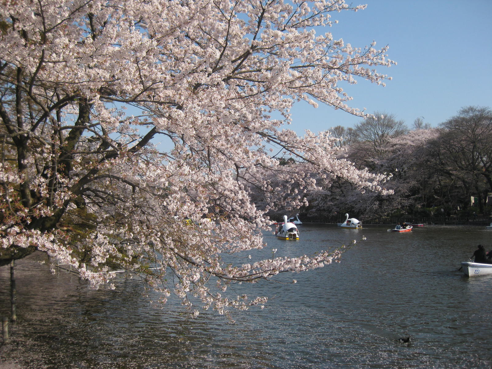 Inokashira park during Sakura season Tokyo Mitaka