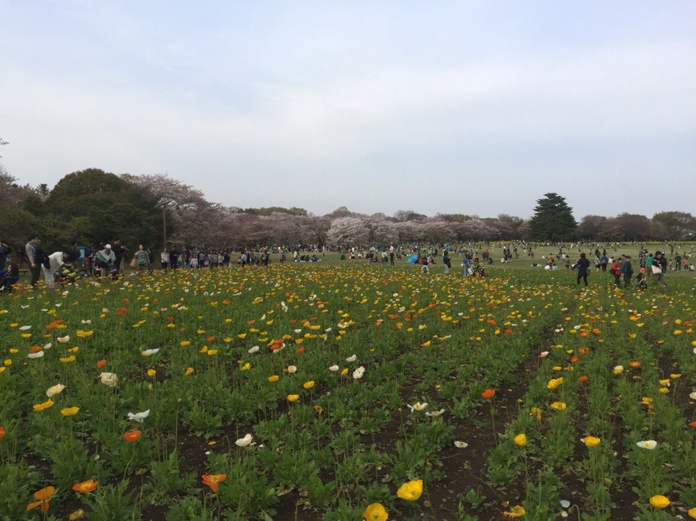 Poppy field in April at Showakinen Park Tokyo Tachikawa