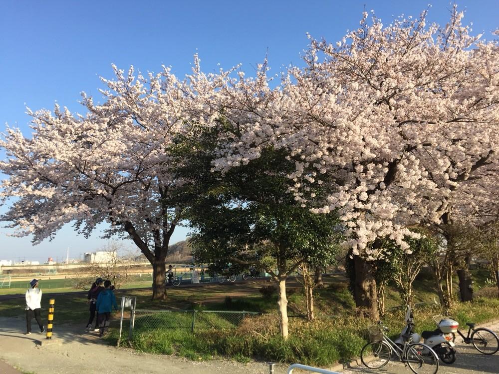 Sakura in April at Kyodonomori Soccer field Tokyo Fuchu
