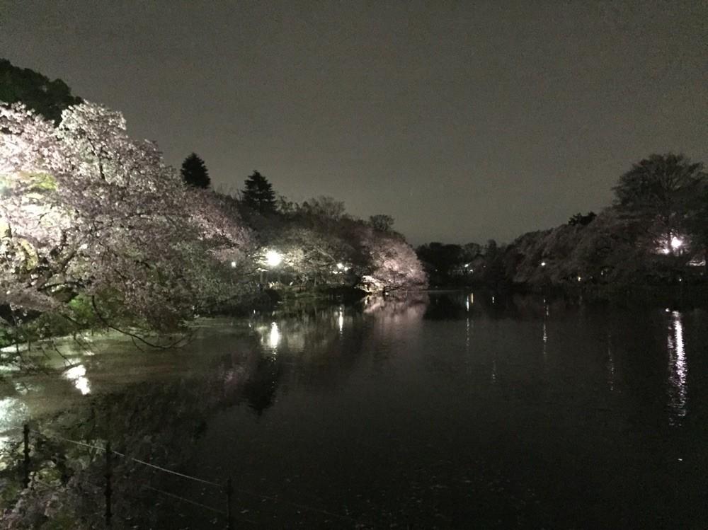 Sakura Night at Inokashira park Tokyo Mitaka
