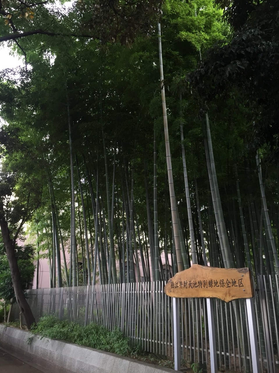 Protected Bamboo Forest in front of Komae station Tokyo Komae