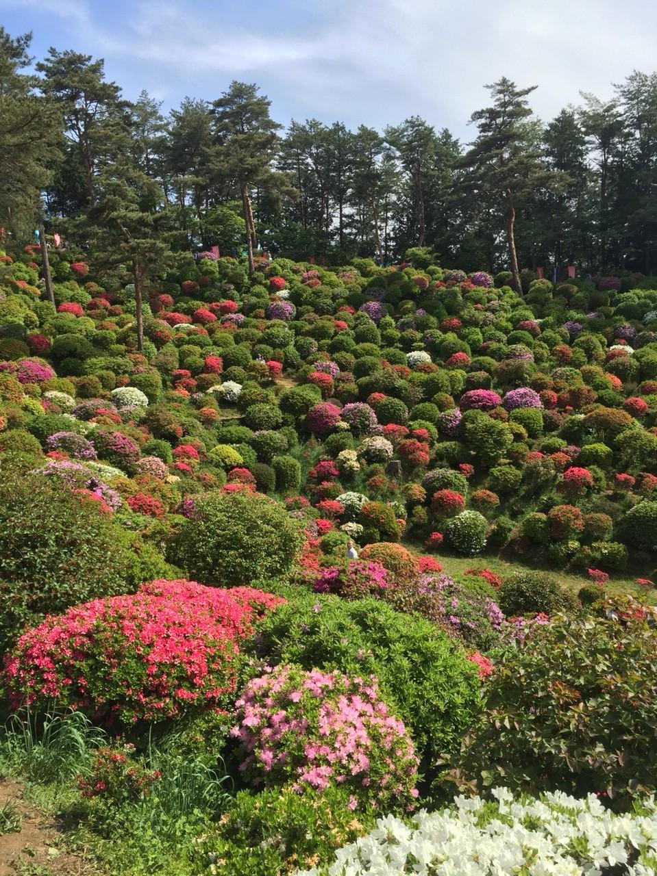 Azalea garden festival in May at Shiofune Kannon Temple Tokyo Ome