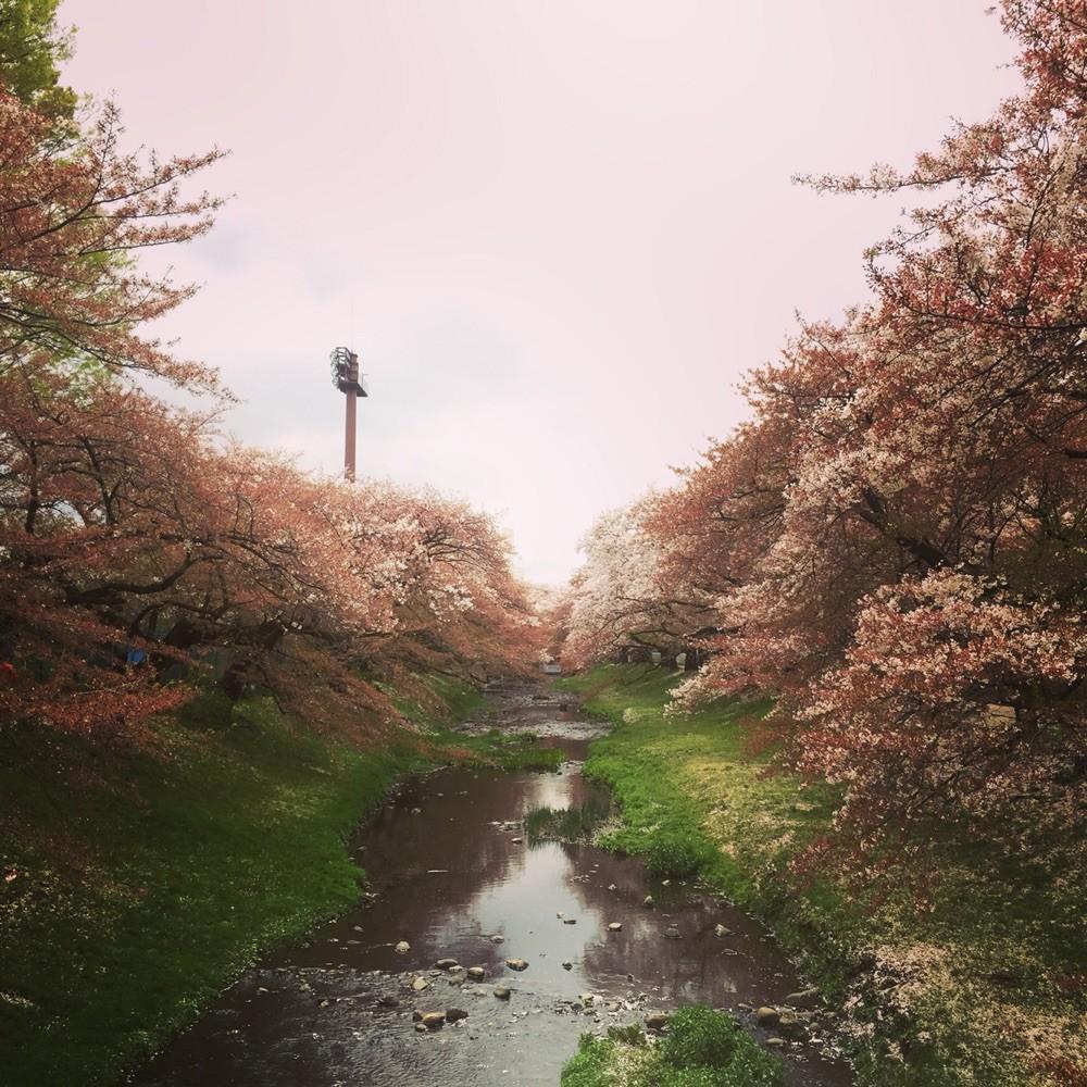Sakura season at Tachikawa Park Tokyo Tachikawa