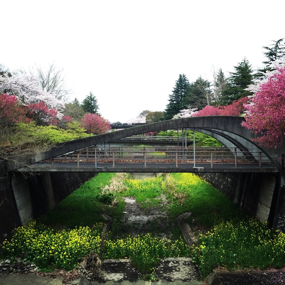 Sakura season at Zanbori River Showakinen Park Tokyo Tachikawa