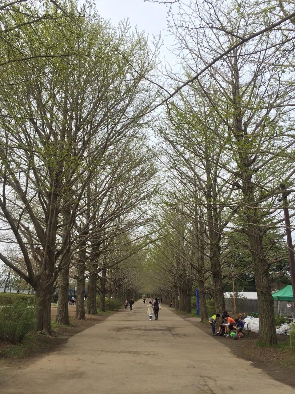 Gingko tree line at Showakinen Park Tokyo Tachikawa