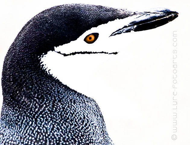 2008.01.14  -  Antarktische Halbinsel (Antarctica, Pensinsula)  -  Zügelpinguin (Chinstrap Penguins)