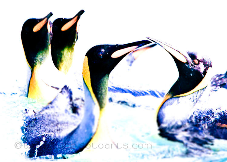 2009.01.19  -  Australien (Australia), MacQuarie Island  -  Königspinguine   (King Penguins)