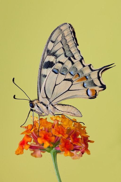 Papilio Machaon su lantana
