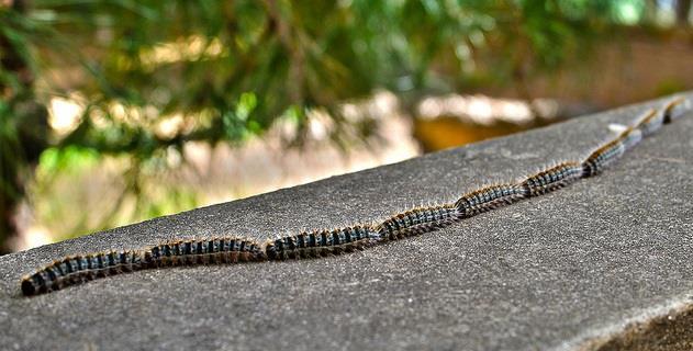 """Caterpillars ( bruchi ) in """"processione """""""