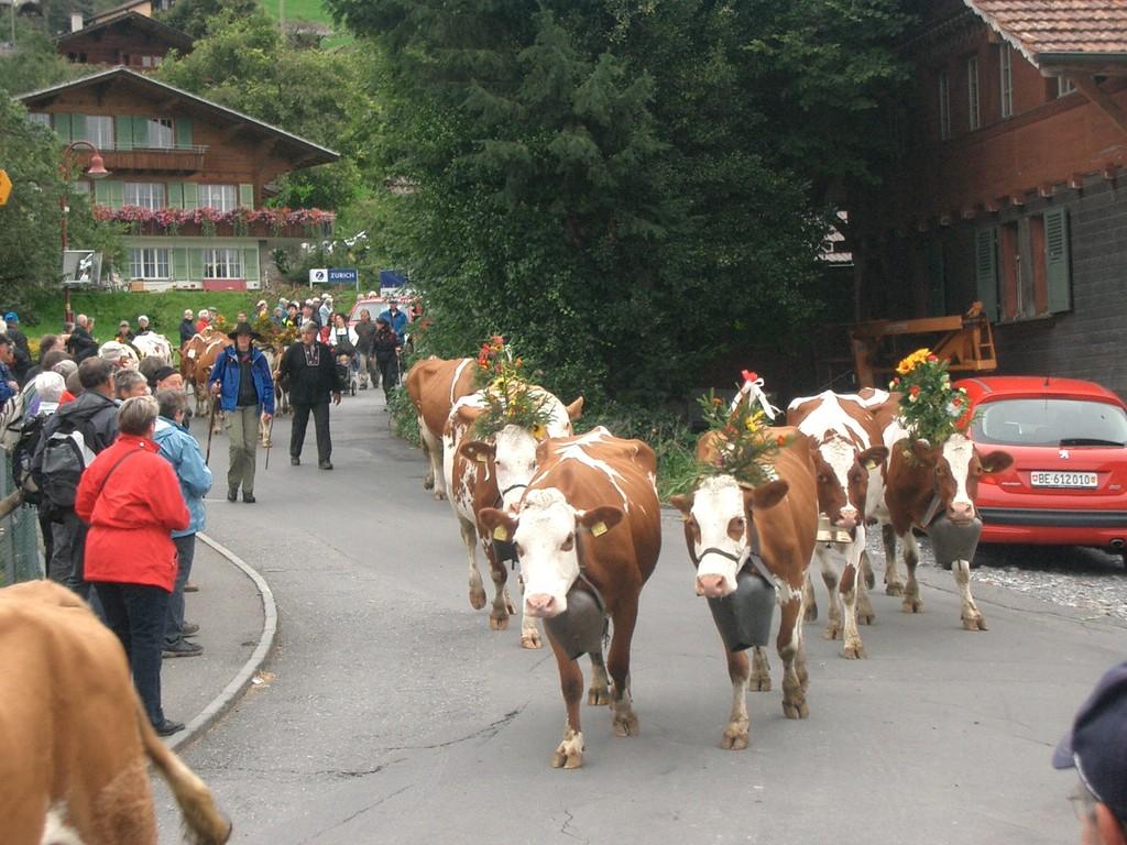 und begleitet die Kühe zurück ins Tal
