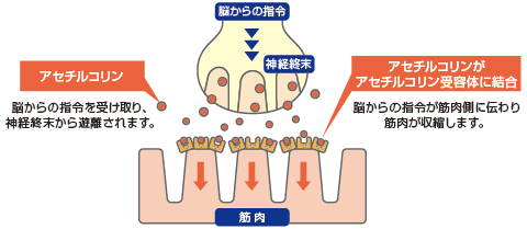 神経と筋の関係(神経伝達物質)